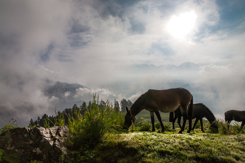 Horses grazing in the early morning light on Dayara Bugyal