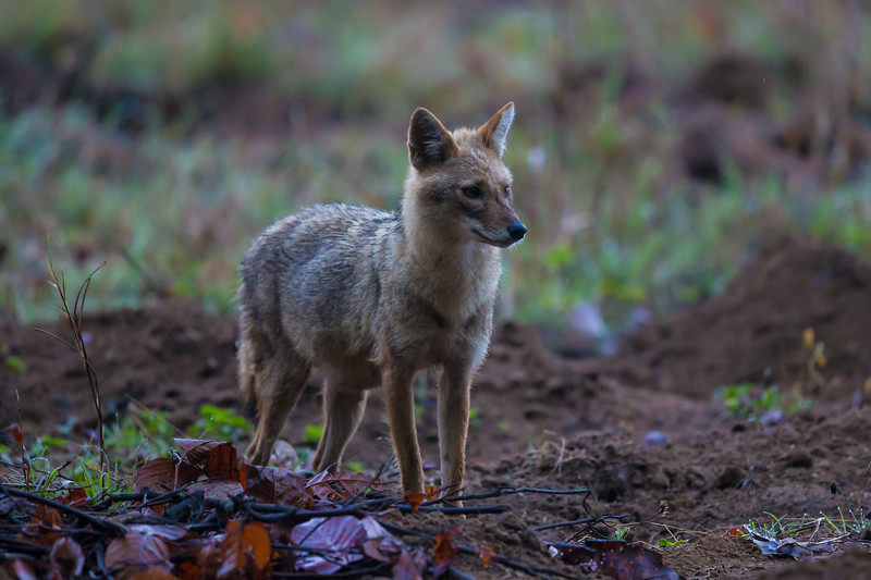 Asia. India. Indian Jackal (Canis aureus indicus) at Kanha tiger reserve.