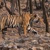 DSC_8596 Bengal tiger Hunting 1200 web