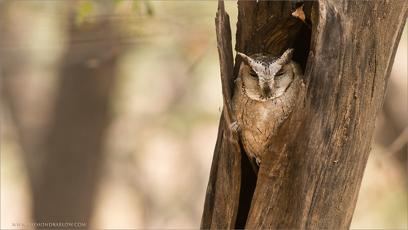 Collared Scops Owl <br /> India Photo tours<br /> <br /> ray@raymondbarlow.com