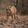 RJB_1643 Royal Bengal Tiger Cub 1200 web