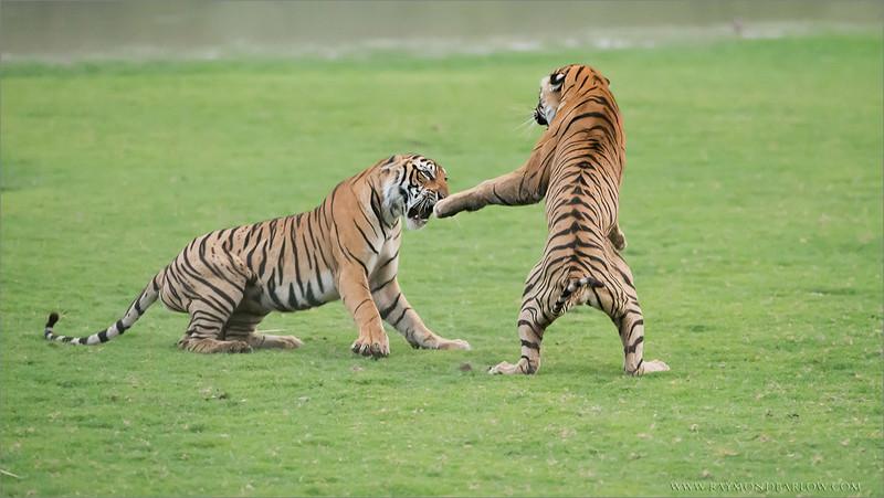 RJB_5054 Royal Bengal Tigers in Battle edit 1 - 1200 web