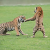 RJB_5054 Royal Bengal Tigers in Battle edit 1 - 1200 web