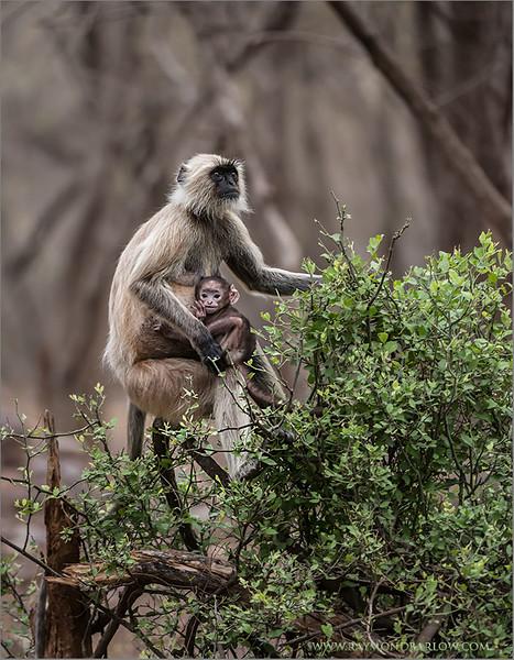 RJB_0954 Monkey and Baby 700 x 900 1200 web