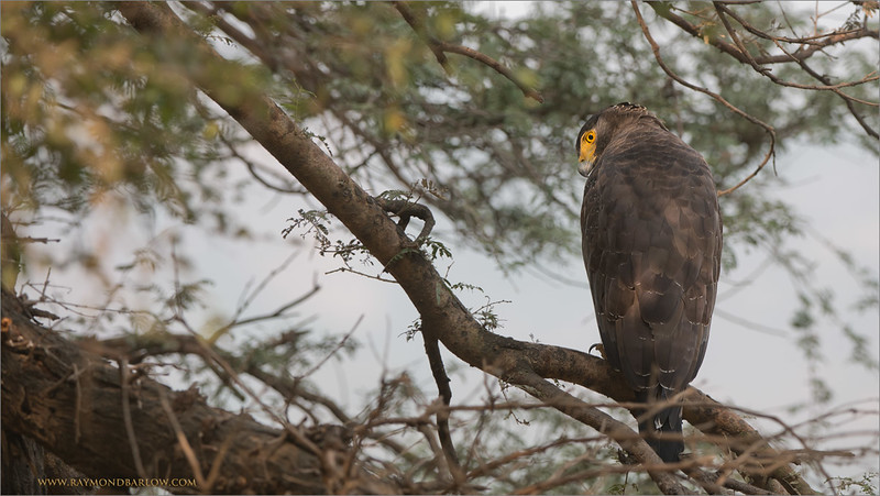 "Snake Eagle in Ranthambhore - India<br /> RJB Royal Bengal Tiger Tours<br /> <br />  <a href=""http://www.raymondbarlow.com"">http://www.raymondbarlow.com</a><br /> 1/500s f/5.6 at 270.0mm iso640"