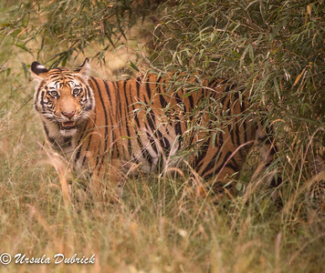Bengal Tiger watching the photographers, Bandhavgarh National Park, India