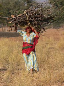 Woman gathering firewood in Rajasthan,  India.