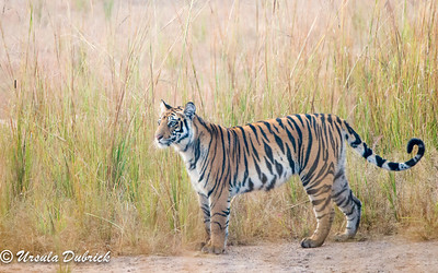 Tiger in Bandhavgarh National Park, India