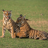 RJB_1289 Royal Bengal Tiger Cubs in Play 1200 web