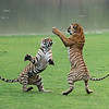 """Royal Bengal Tiger Sisters in Battle<br /> Raymond's India Photo Tours<br /> <br />  <a href=""""http://www.raymondbarlow.com"""">http://www.raymondbarlow.com</a><br /> ray@raymondbarlow.com<br /> Nikon D800 ,Nikkor 200-400mm f/4G ED-IF AF-S VR<br /> 1/2500s f/4.0 at 210.0mm iso5000"""
