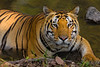 Asia. India. Male Bengal tiger (Pantera tigris tigris) enjoys the cool of a water hole at Kanha Tiger Reserve.
