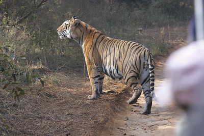 Bengal Tiger, Ranthambore National Park, India.