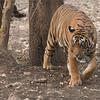 DSC_4992 Royal Bengal Tiger 1200 web