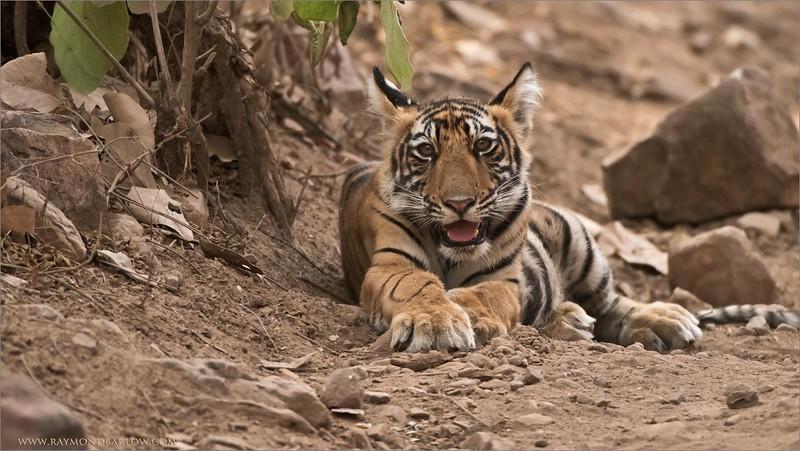 Tiger Cub in India<br /> Raymond's Wild Tiger Photography Tours<br /> <br /> ray@raymondbarlow.com<br /> <br /> Jobu Design Monopod and Gimbal head.<br /> Nikon D810 ,Nikkor 200-400mm f/4G ED-IF AF-S VR<br /> 1/640s f/4.5 at 400.0mm iso2000