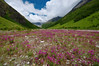 Explosion of flowers along the river in the Valley of Flowers
