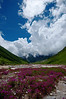 Flowers abloom along the Pushpawati river in the Valley of Flowers