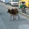Holy Cow, Delhi, India