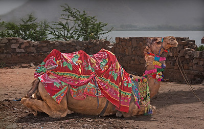 Beautifully decorated camel in India