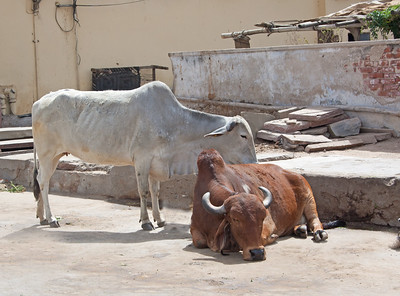 sacred, revered cows on a street in India