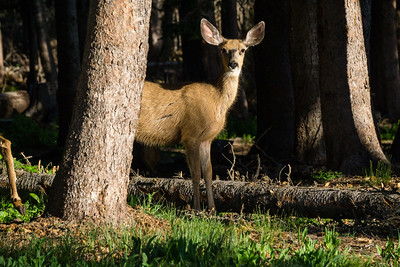Mule Deer Behind A Tree