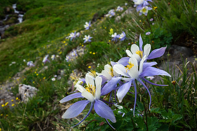Columbines in Colorado