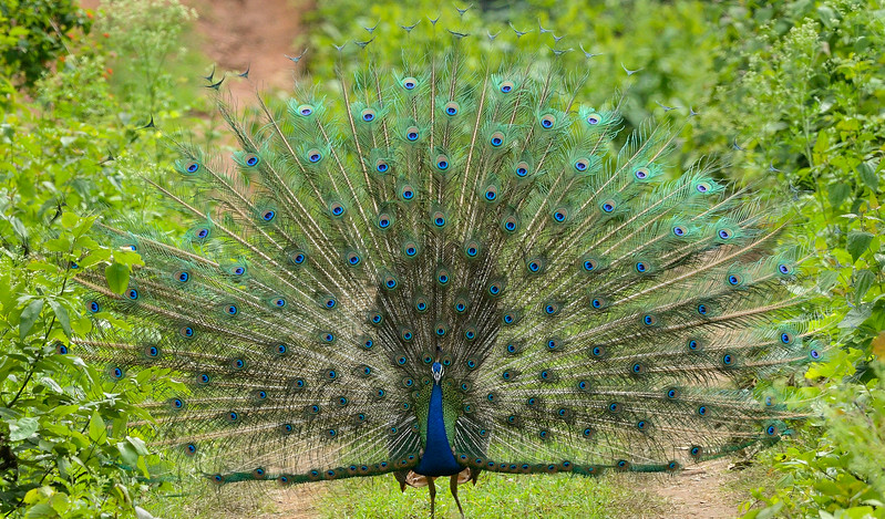 In all its glory - Peacock dancing, a beautiful courting display