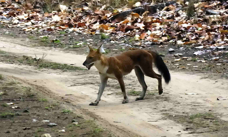 Wild Dog crosses the road in front of the jeep