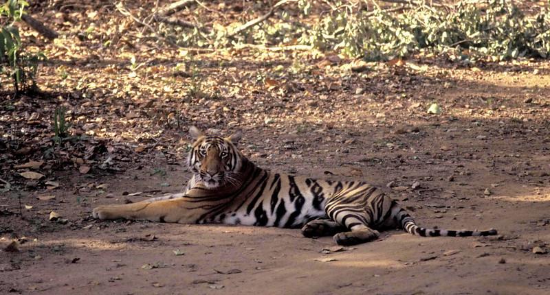 A tigress sitting on the road Kanha