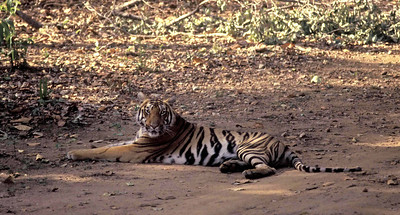 A tigress sitting on the road Kanha