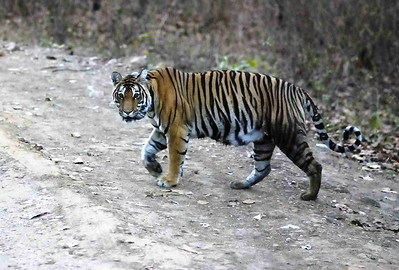 Tigress crosses the road at dusk behind the jeep