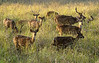 Chital on the Kanha meadows