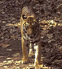 A radio collared Tigress watches a jeep Kanha
