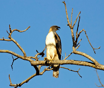 Hawk Eagle calling, Kanha National Park