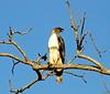 Hawk Eagle calling, Kanha National Park