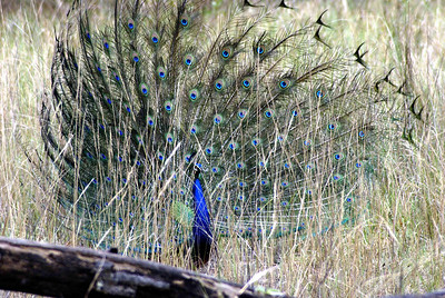 Peacock Kanha