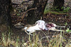 Chital killed by a leopard Kanha - Leopard Kill