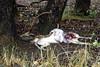 Chital killed by a leopard Kanha - Leopard Kill
