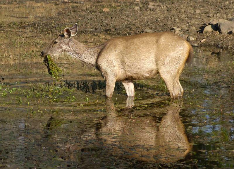 Sambhar in a waterhole