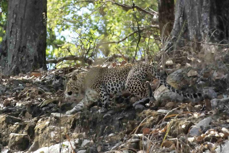 Leopard on the rocks