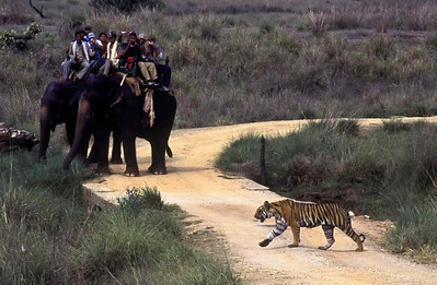 Tiger crosses the road near the Kanha camp watched by tourists