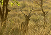 Lone Chital stag at sunset