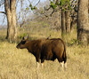 Gaur Indian Bison