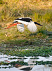 Black necked stork