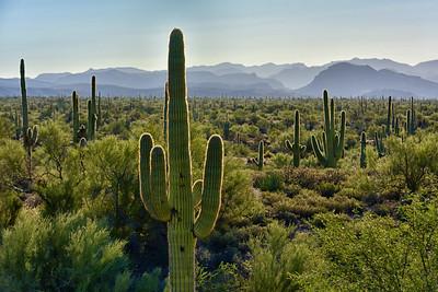 Saguaro Desert