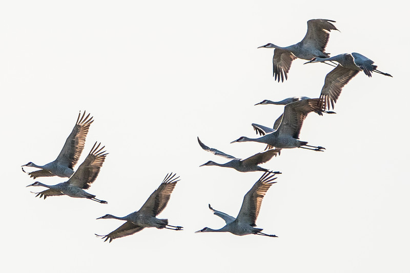 Sandhill cranes, by the hundreds. Fall migration at Jackson Pulaski Wildlife Area, Indiana