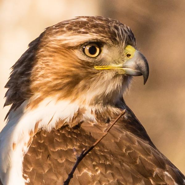 Eyes like a hawk, Morton Arboretum