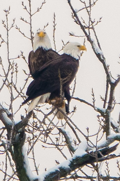 Eagles, Plum Island