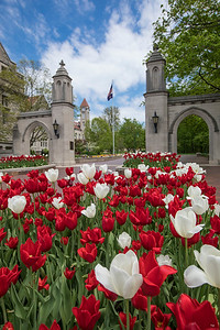 Tulips at the Sample Gates - Vertical