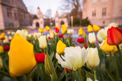 Tulips near the Sample Gates - Indiana University