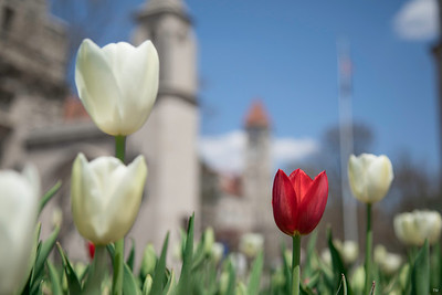 Indiana University Red and White Tulips at the Sample Gates
